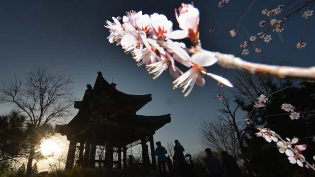 Em Pequim, chineses lotam parques para ver flores das cerejeiras
