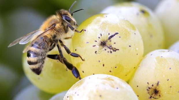 Abelha em uvas de vinhedo na cidade de Meilen, perto de Zurique