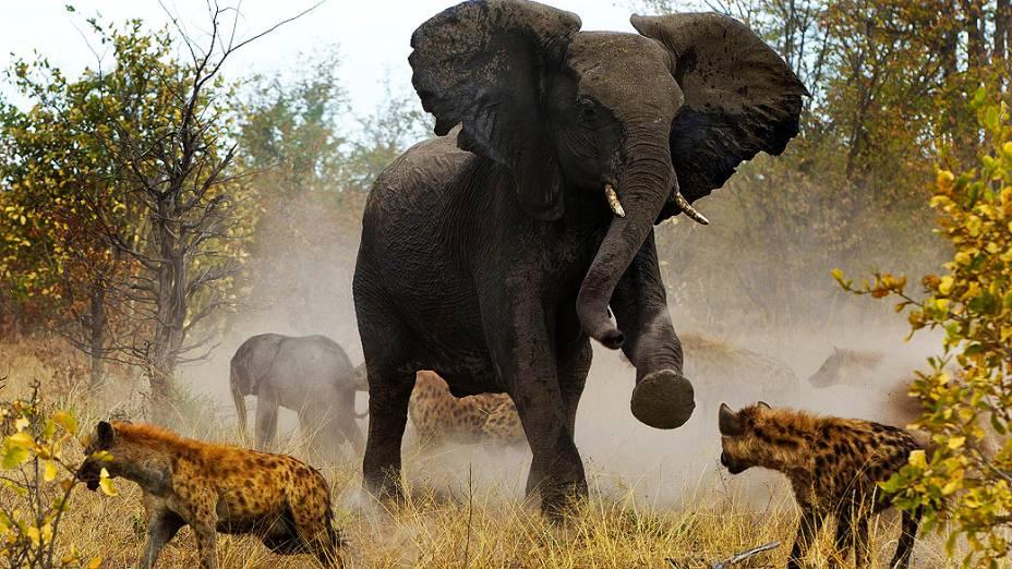 Fotógrafo flagra elefanta defendendo filhotes contra hienas na região de Savuti, no Parque Nacional de Chobe, em Botsuana