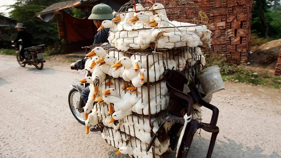 Homem transporta patos para um mercado de aves na vila Ha Vy, em Hanói capital do Vietnã
