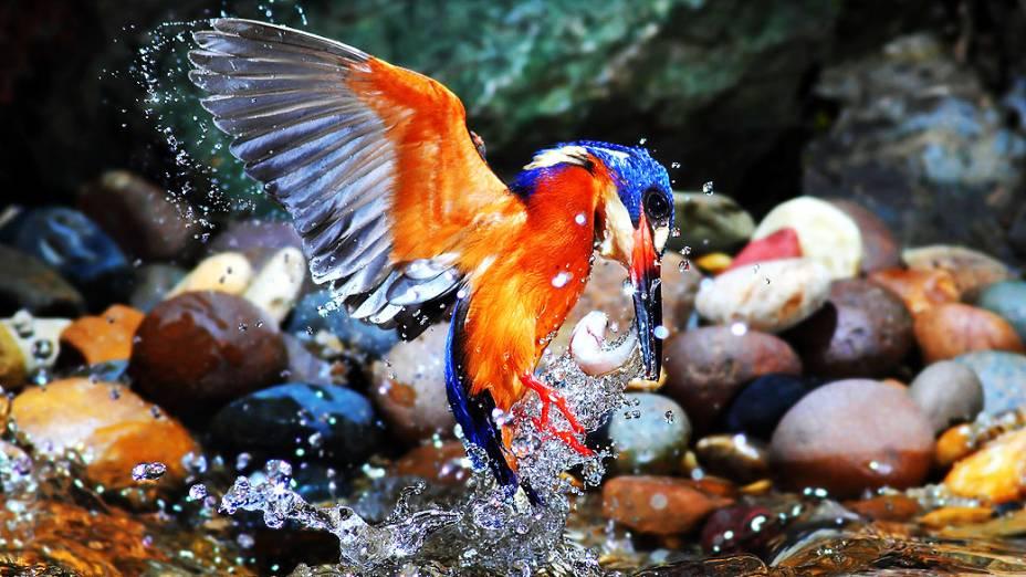Martins-pescadores dão espetáculo de caça na natureza. O fotógrafo amador da vida selvagem Phiphat Suwanmon, da Tailândia, passou dois anos documentando os extraordinários hábitos de alimentação do martim-pescador