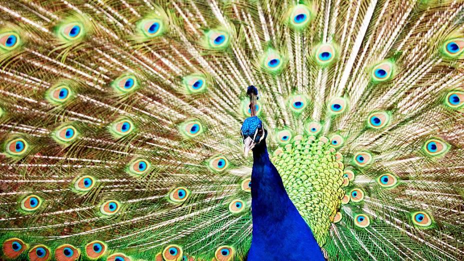 Pavão azul mostra suas penas no Zoológico Wilhelma, em Stuttgart, na Alemanha