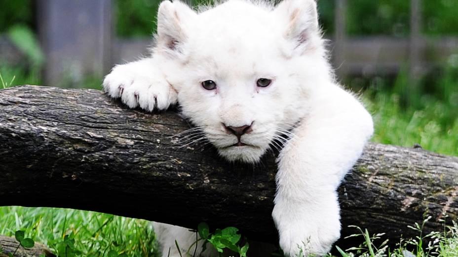 Leão branco é fotografado em zoológico na França