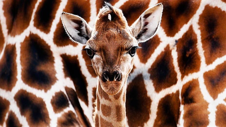Girafa é fotografada em sua jaula no zoológico Hagenbeck Tierpark em Hamburgo, na Alemanha