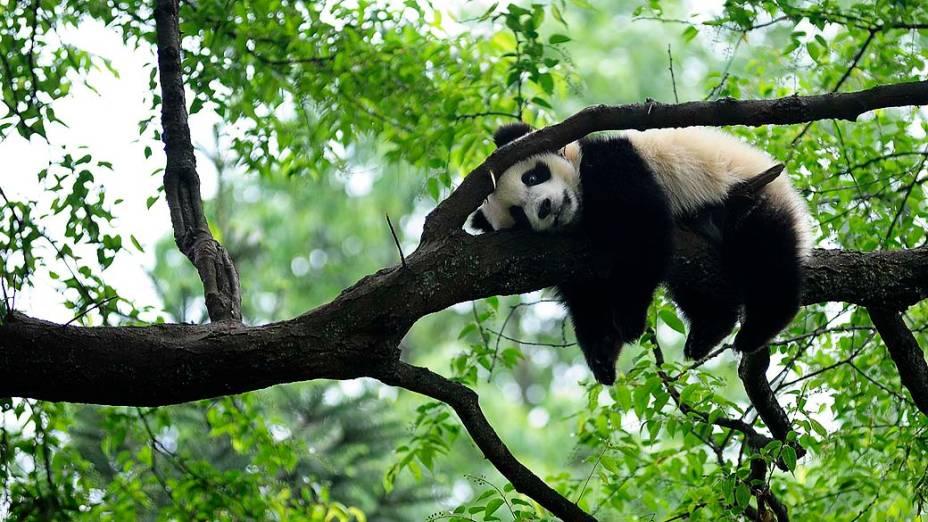 Panda gigante repousa sobre uma árvore em Yaan, na China