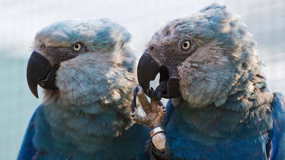 Casal de araras azuis no centro da Associação para a Conservação de Papagaios (ACTP), em Schoeneiche, na Alemanha