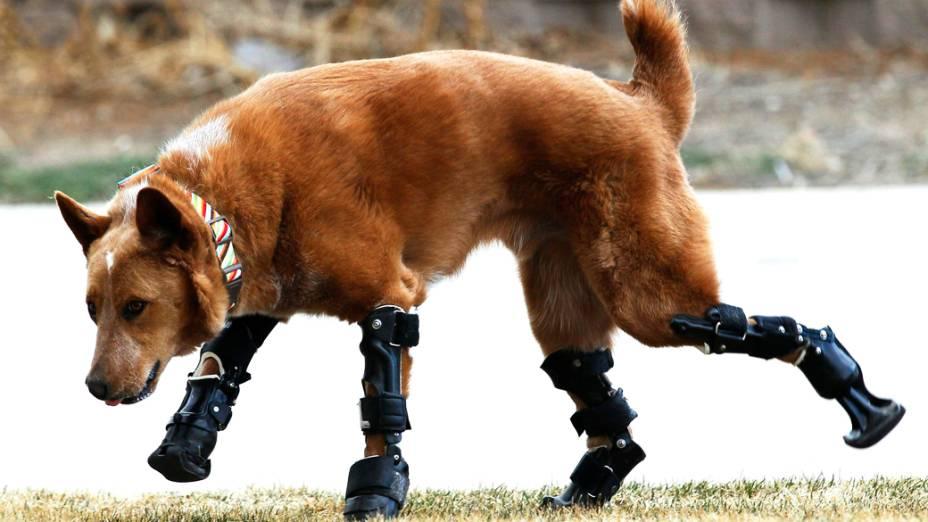 Um cachorro caminha com próteses, após perder as quatro patas congeladas, nos Estados Unidos