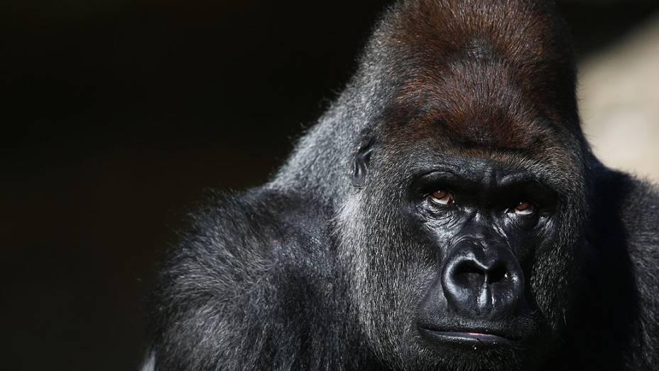 Kumbuka, gorila com 15 anos de idade, no Zoológico de Londres, na Inglaterra