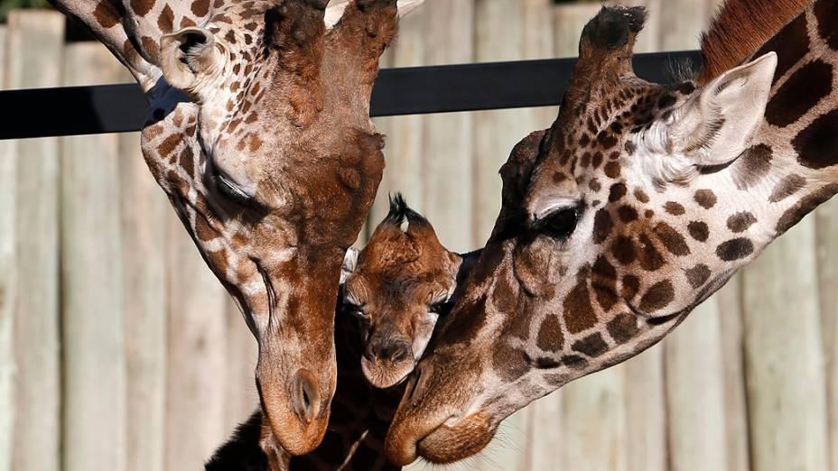 Filhote de girafa de seis dias recebe carinho dos pais em zoológico de Buenos Aires, na Argentina, nesta terça-feira (16)