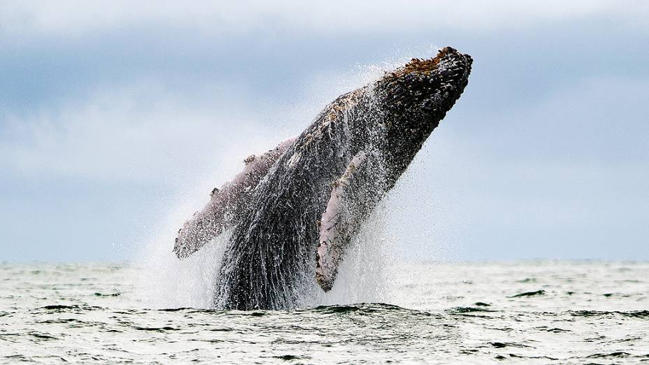 Baleia-jubarte salta acima da superfície no oceano Pacífico, no parque natural de Uramba Bahia Malaga, na Colômbia