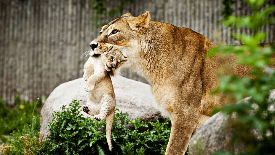 Leoa carrega um de seus dois filhotes durante apresentação para a imprensa, no zoológico de Copenhague, na Dinamarca
