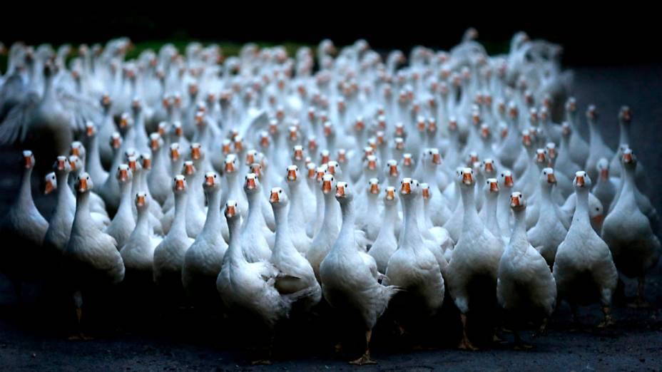 Um bando de 150 gansos atravessa a rua em Duisburgo na Alemanha