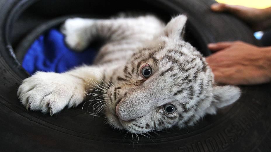 Primeiro tigre de bengala branco nascido em cativeiro no Peru foi apresentadonesta segunda-feira(05), no zoológico deHuachipa,em Lima
