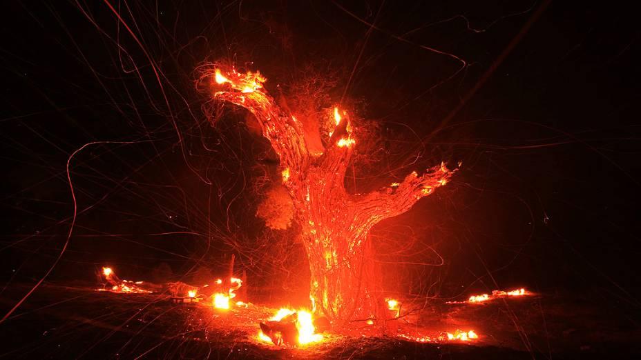 Árvore de carvalho pega fogo perto Banning, Califórnia. Um incêndio florestal atingiu uma estrada ao sul de Banning, e em poucas horas tinha atingido mais de 5.000 hectares, nos Estados Unidos