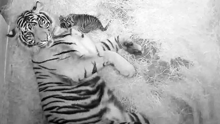 Nascem dois raros tigres de Sumatra no zoológico Nacional em Washington (EUA). Na manhã desta quinta-feira (08) uma câmera instalada na jaula permitia ver, no site do zoológico, os pequenos felinos brincando com a mãe