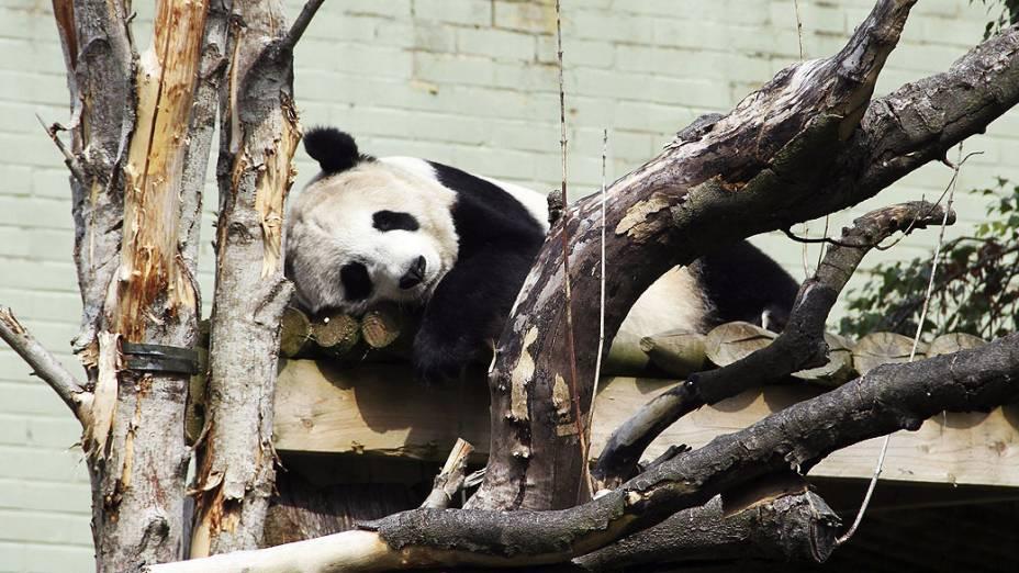 A panda gigante Tian Tian, tira um cochilo no zoológico de Edimburgo, na Escócia, nesta terça-feira (27)