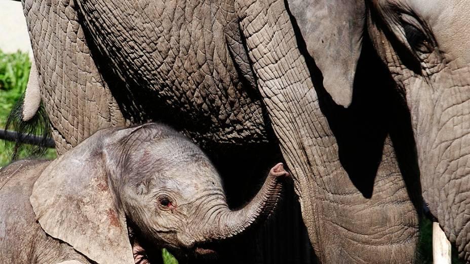 Filhote de elefante brinca com mãe no zoológico Schoenbrunn em Viena, na Áustria, nesta quinta-feira (05)