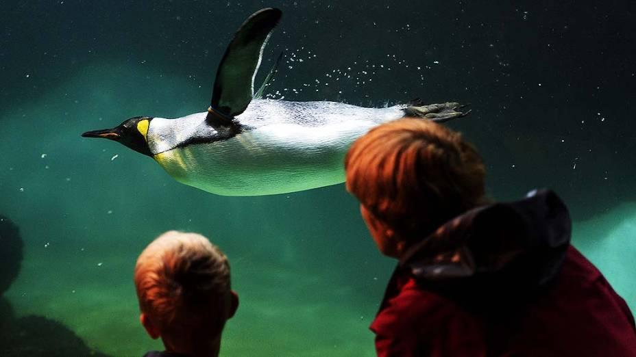 Pinguim nada em seu aquário no zoológico de Zurique na Suiça