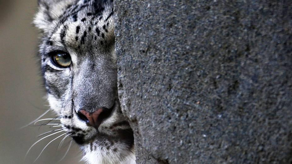 Sarani, um leopardo da neve fêmea é vista no jardim zoológico de Brookfield, em Illinois