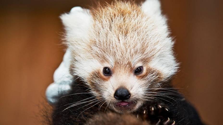 Bebê panda é visto no zoológico de Nuremberg, na Alemanha