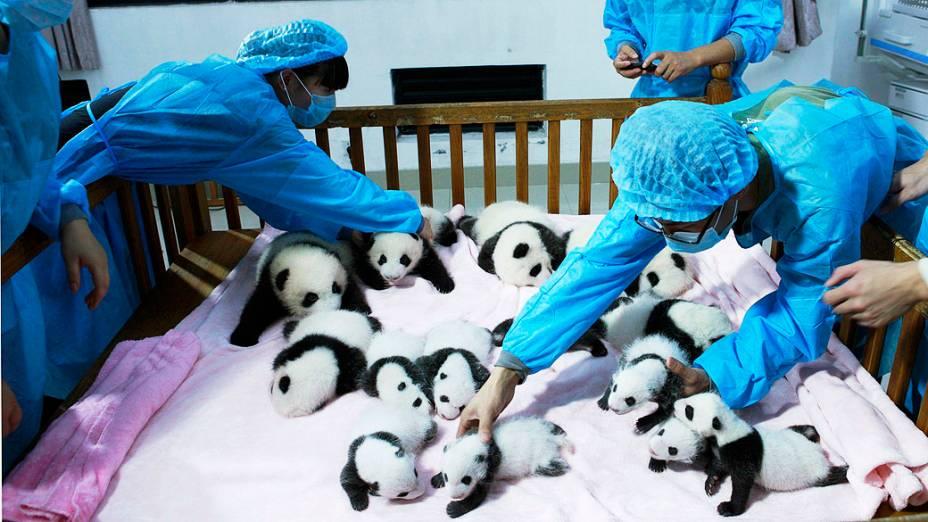 Criadores cuidam de filhotes de panda gigante dentro de um berço em Chengdu, província de Sichuan, China