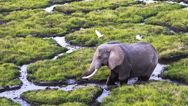 Elefante caminha no Parque Nacional de Amboseli, no Quênia