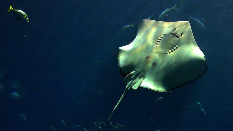 Arraia nada no enorme aquário do Atlantis hotel em Dubai, nos Emirados Árabes