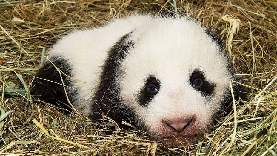 Filhote macho de panda é visto em sua jaula no zoológico de Viena, na Áustria