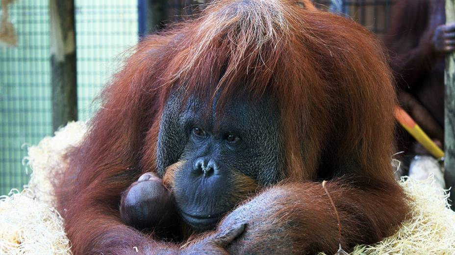 Orangotango é visto com seu filhote no zoológico de Barcelona, na Espanha