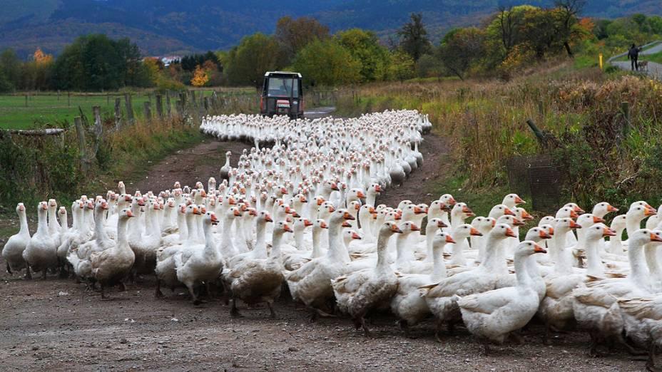 Gansos da granja GmbH Landi são levados ao seu celeiro em Veckenstedt, Alemanha