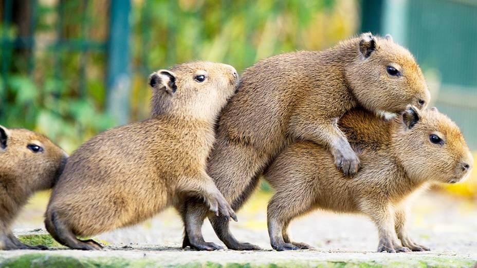 Capivaras em um zoológico de Hanover, na Alemanha