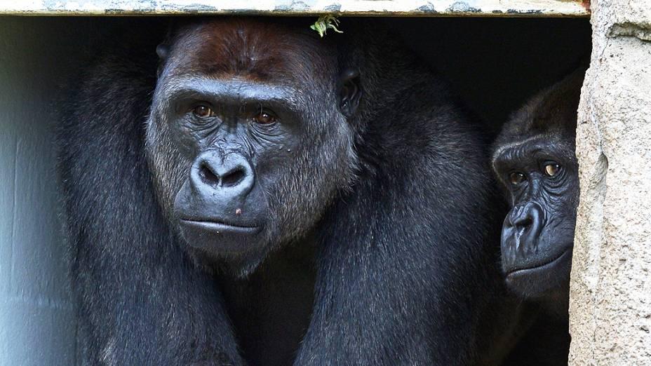 Gorilas nascidos nas planícies da França são vistos no zoológico Taronga, em Sydney, Austrália