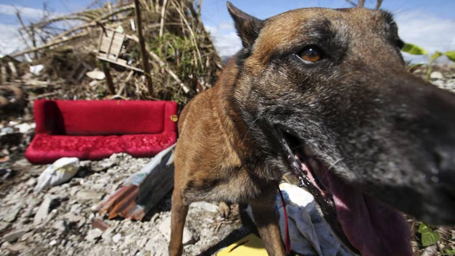 Em Tacloban, cão procura por sobreviventes do tufão Haiyan, nas Filipinas