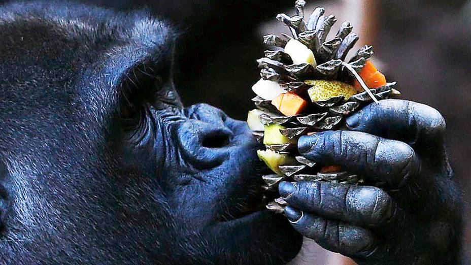 Gorila é visto comendo frutas e legumes frescos no zoológico de Palmyre, na França