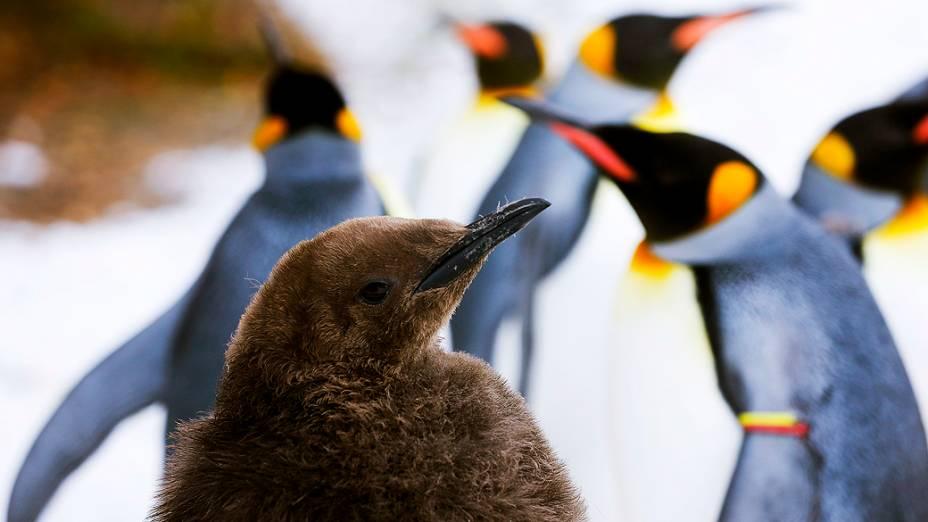 Um filhote de pinguim-rei visto em seu recinto no zoológico de Zurique