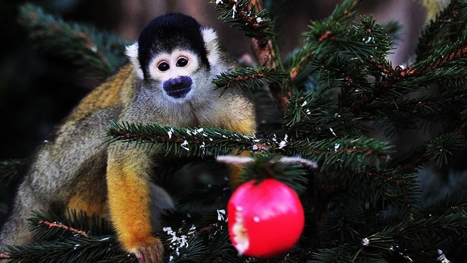 Macaco come em bolas de Natal recheadas em zoológico, na Inglaterra