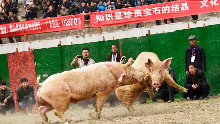 Porcos são fotografados durante uma rinha suína em Leishan, na província de Guizhou, na China