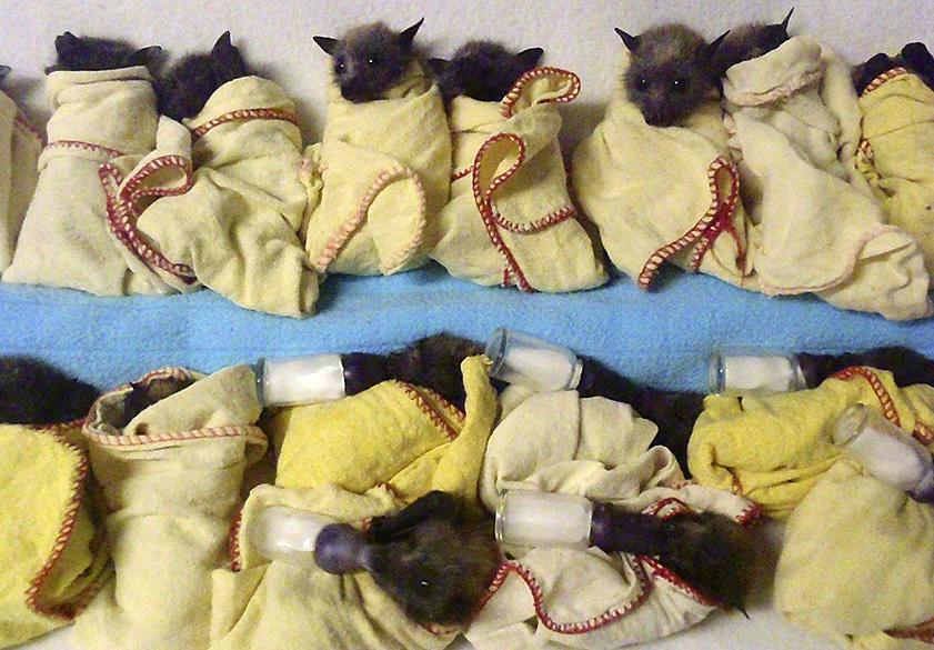 Imagem divulgada por uma clínica australiana especializada em morcegos, mostra quinze filhotes de morcegos-raposa recebendo tratamento após sofrerem estresse por causa do calor