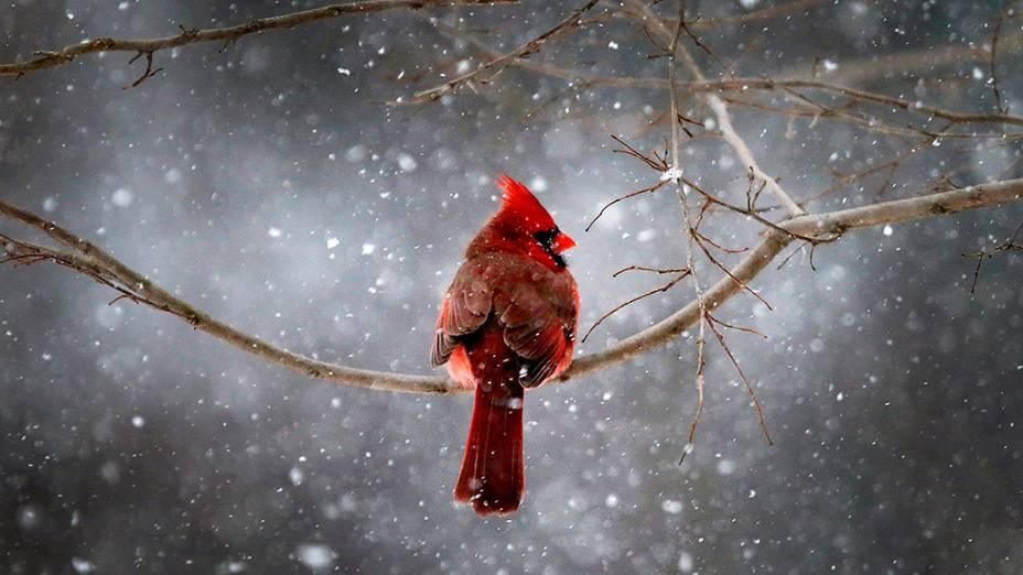 Um cardeal do norte (Cardinal cardinalis) se senta em um galho durante nevasca no subúrbio de Nova York