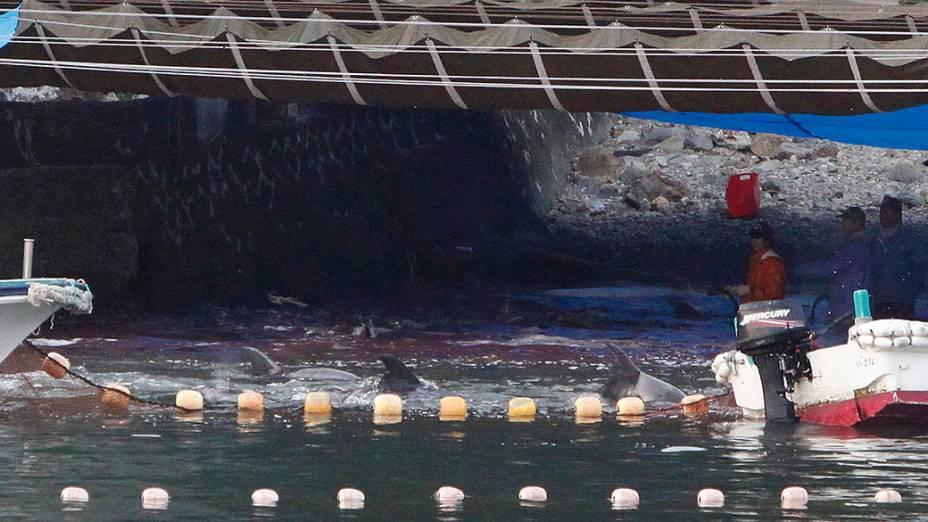 Caçadores japoneses conduzem um enorme grupo de golfinhos para águas rasas na baía de Taiji, no oeste do Japão e os matam. Ao menos 30 foram mortos nesta terça-feira (21)
