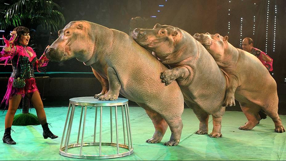 Circo em Minsk, na Bielo-Rússia faz apresentação com hipopótamos
