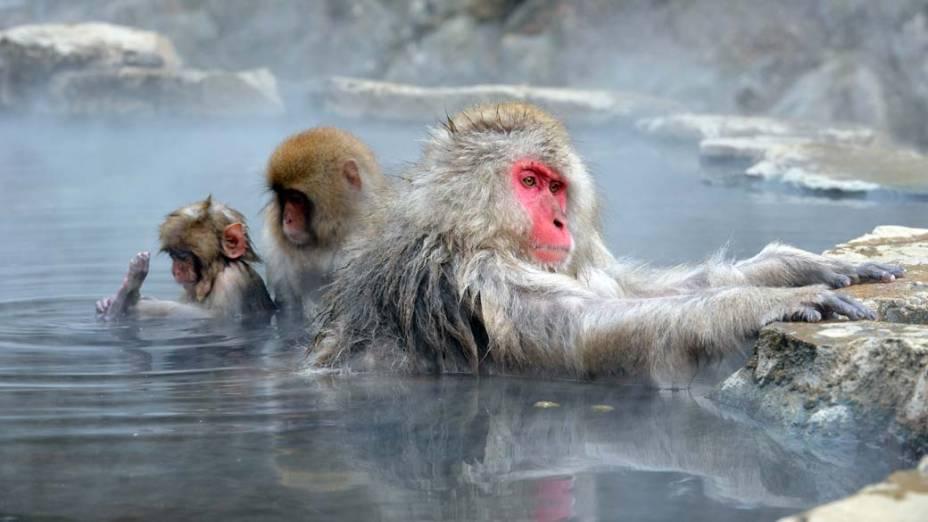 Macacos japoneses tomam banho em piscina natural de àgua quente Parque dos Macacos, em Yamanouchi
