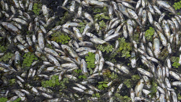 Milhares de peixes foram encontrados mortos no lago Nageen devido ao esgotamento de oxigênio e variação da temperatura da água em Srinagar, na Índia