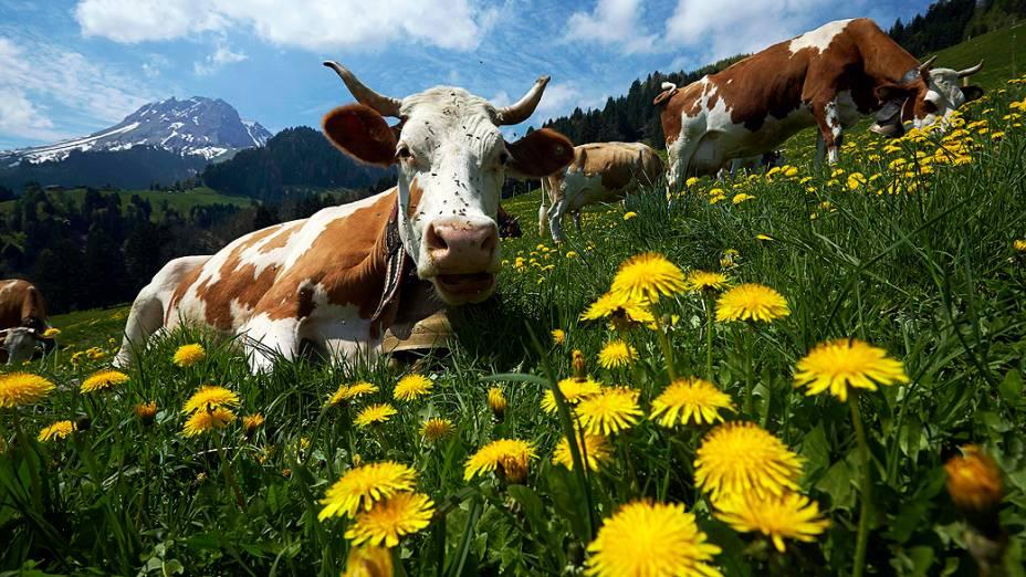 Vacas pastando durante o primeiro dia da temporada de fabricação de queijos em Gruyères, na Suíça