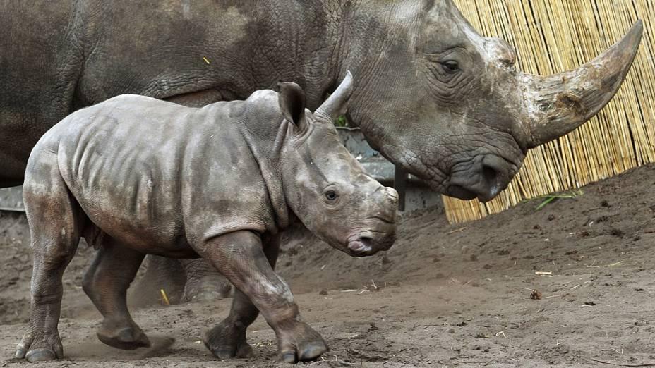 Bebê rinoceronte caminha com sua mãe no Parque Serengeti em Hodenhagen, na Alemanha