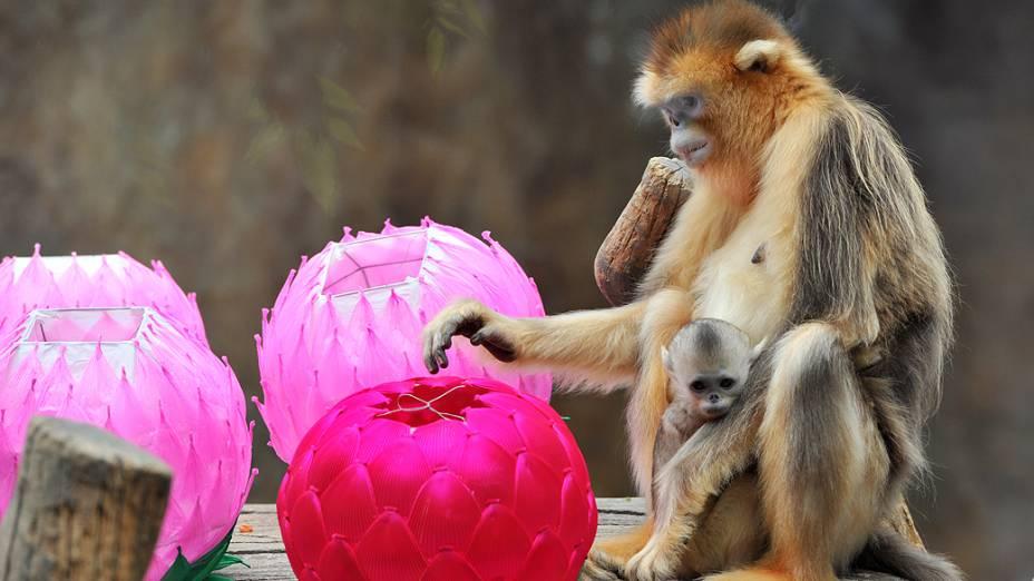 Macaco-dourado em jaula decorada com lanternas de lótus no parque de diversões Everland, em Yongin, na Coreia do Sul