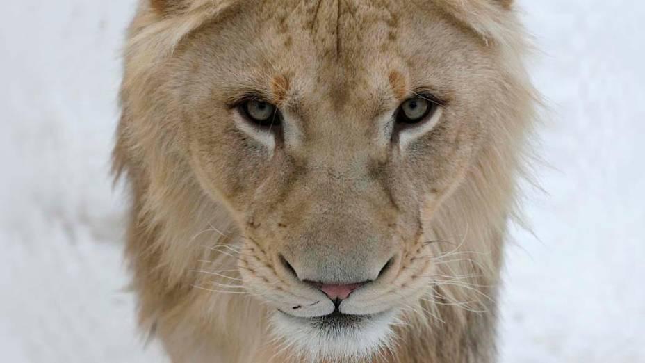 Leão branco africano no zoológico de Royev Ruchey, na Rússia
