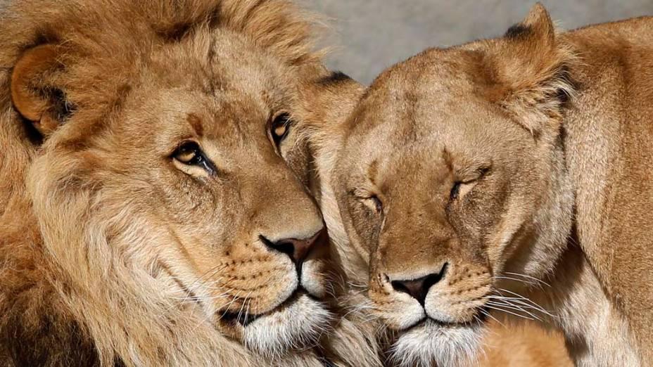 Casal de leões no zoológico Hagenbeck em Hamburgo, Alemanha