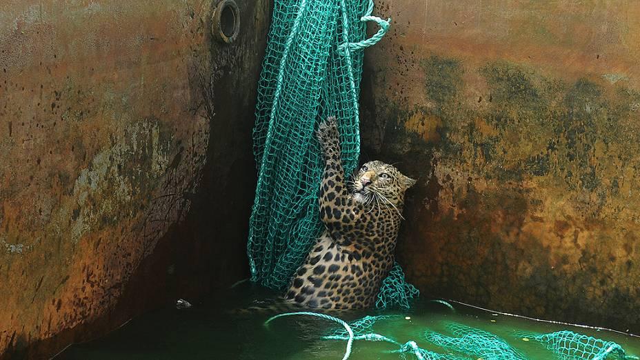 Na Índia, equipe de resgate tira leopardo de um reservatório de água após ter caído