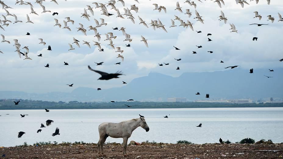 Cavalos comem lixo, no aterro de Gramacho; lixão será desativado nesta sexta-feira